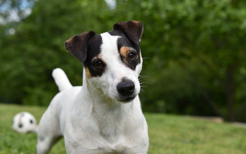 Why I love Jack Russell Terriers