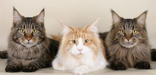 Introducing the Maine Coon Cat